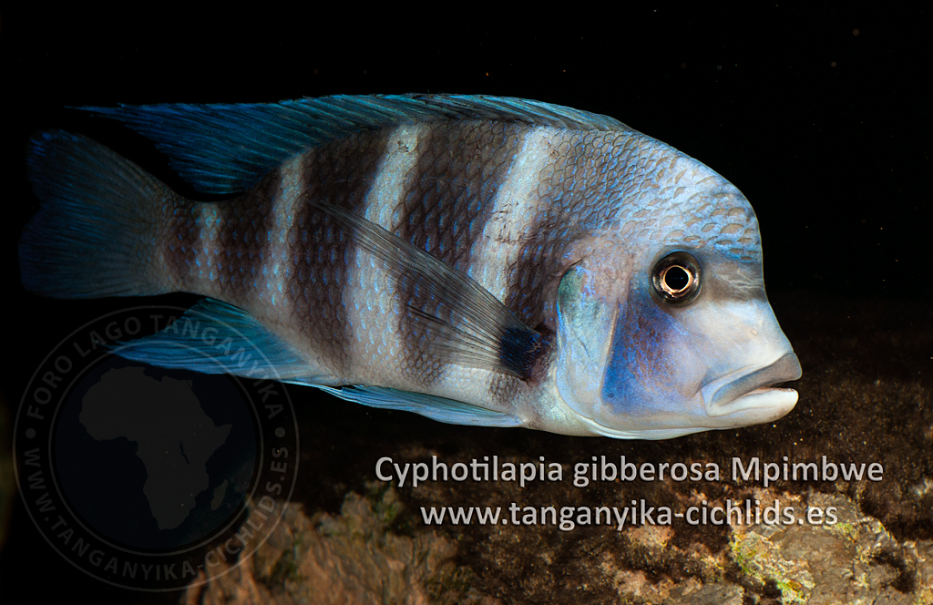 Tanganyika Cichlids Magazine Cyphotilapia gibberosa Mpimbwe