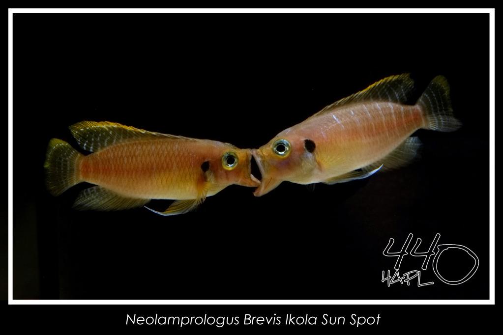 Tanganyika Cichlids Magazine Lamprologus brevis Sunspot