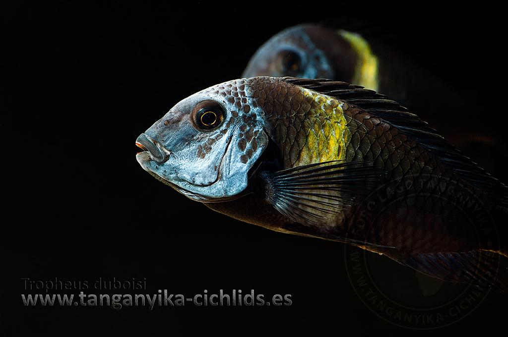 Magazine Tanganyika Cichlids Tropheus duboisi Maswa